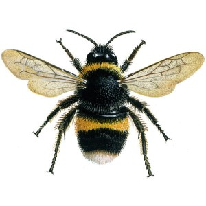 Large Fuzzy Bumblebee Image - Science for Kids All About Bumblebees