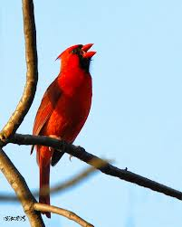 Red Cardinal Singing Image