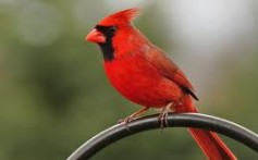 All About Cardinals – The Red Feathered Small Birds