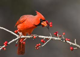 Red Cardinal Eating Fruits Image