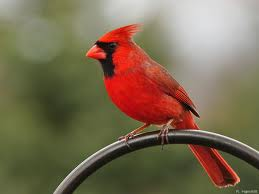 Red Cardinal Bird Image - Science for Kids All About Cardinals