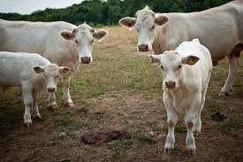 Family of Cattle Image - Science for Kids All About the Cattle Family