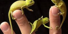 All About Chameleons – Can They Change Their Colors?