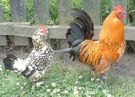 A Hen and a Rooster Standing Next to Each Other Image - Science for Kids All About Chickens