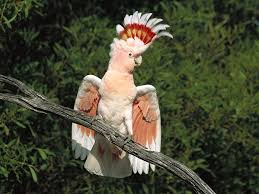 Red Cockatoo on a Tree Image - Science for Kids All About Cockatoos