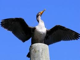 Cormorant Spreading its Wings Image