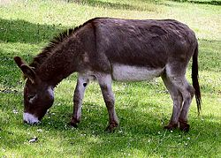 Donkey Grazing Grass Image - Science for Kids All About Donkeys