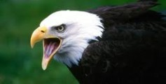 All About Eagles – The Symbol of Pride in USA