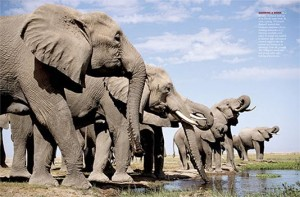 Elephants Drinking Water Image - Science for Kids All About Elephants