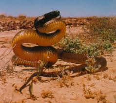 Fierce Snake Preparing to Attack Image - Science for Kids All About the Fierce Snake