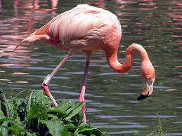 Flamingo in the Water About to Fold its Leg Image - Science for Kids All About Flamingos