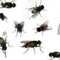 different-house-flies image