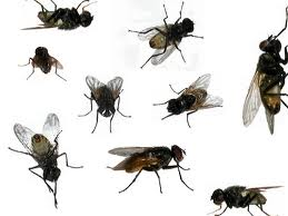 Different Types of Flies