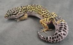 All About Geckos – The Cool Looking Little Lizards