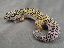 Black Spotted Yellow Gecko Image - Science for Kids All About Geckos