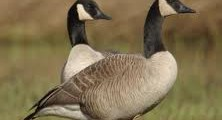 All About Geese – Cute, Messy and Noisy Birds