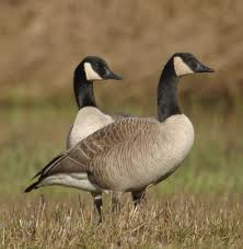 Geese – Cute, Messy and Noisy Birds