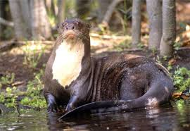A Giant otter by the Riverbank Image