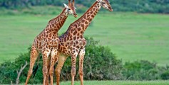 All About Giraffes – The Tallest Mammals