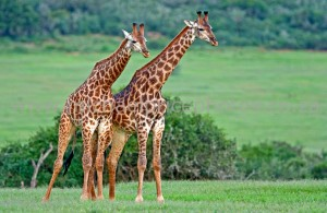 A Giraffe Couple Image - Science for Kids All About Giraffes