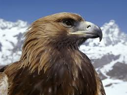 Golden Eagle Image