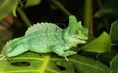All About the Green Basilisk Lizard – Lizards That Can Walk on Water