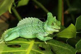green-basilisk-lizard-on-leaves image