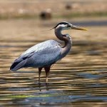 All About Herons and Their 64 Species