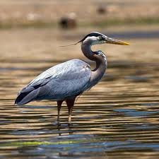 Herons – Over 64 Species