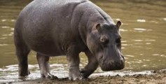 All About Hippos – Cute Looking But Dangerous Mammals