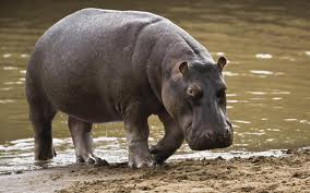 A Hippo Walking Image - Science for Kids All About Hippos