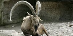 All About Ibex – Do Ibex Have Magical Powers?