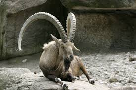 Ibex Sitting Image - Science for Kids All About Ibex