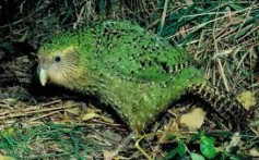 All About Kakapos – The Rare New Zealand Parrots