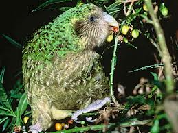 A Kakapo Eating Fruits Image