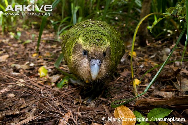 A Kakapo Walking in the Forest Image