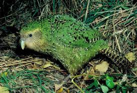 Green Kakapo on Grass Image - Science for Kids All About Kakapos