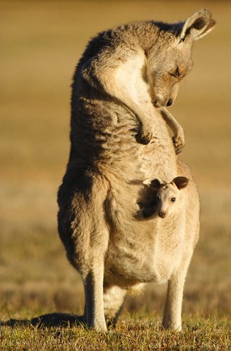 Mother Kangaroo with a Joey in her Pouch Image