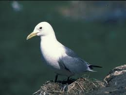 Kittiwake Sea Bird on a Rock Image