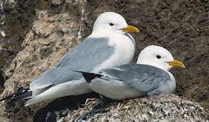 Two Kittiwakes Image - Science for Kids All About Kittiwakes