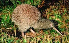 All About Kiwis – The National Bird of New Zealand