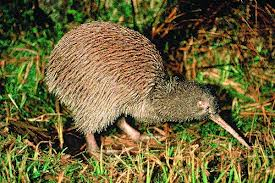 Kiwi Bird in the Night Image - Science for Kids All About Kiwis