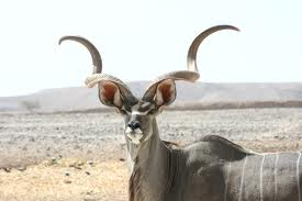 Kudu Antelope with Spiral Horns Image