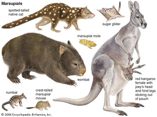 Image of the Different Kinds of Marsupials - Marsupials Quiz
