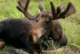 Moose – Where and How They Live