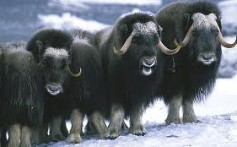 All About Musk Oxen