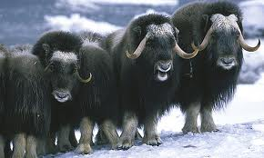 Herd of Arctic Musk Oxen Image - Science for Kids All About Musk Oxen