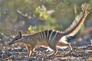 A Numbat Walking Image - Science for Kids All About Numbats