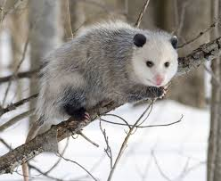 Opossum on a Tree Branch Image - Science for Kids All About Opossums