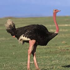 Ostrich in the Field Image - Science for Kids All About Ostriches